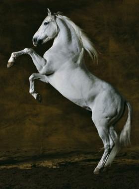 Photo de chevaux : Pure sang Espagnol
